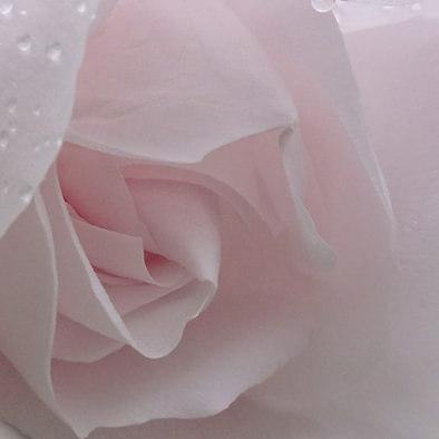 rose, Octobre rose, cancer du sein